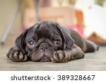 Black Puppy Pug Dog Lying On...