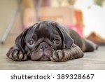 Stock photo black puppy pug dog lying on concrete floor 389328667