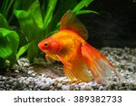 Goldfish In Aquarium With Gree...