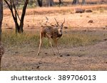 Beautiful Spotted Deer  Tadoba...