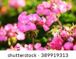 Pink Geraniums In The Morning
