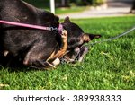Small photo of A female dog playing with its female offspring on park's lawn on a sunny day.