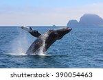 Humpback Whale Breaching Kenai...