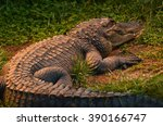 American Alligator Rest On A...