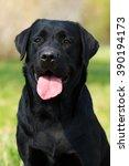 Happy Black Dog Labrador...
