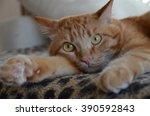 Ginger Cat  Big Cat  Tabby Cat