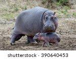 Hippo Family  Hippopotamus...
