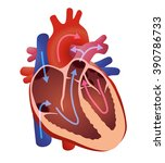 diagram of human cardiac... | Shutterstock .eps vector #390786733