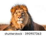Постер, плакат: Two lions together on