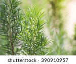 fresh rosemary herb grow... | Shutterstock . vector #390910957