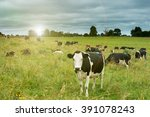 Cows Grazing In The Fields...