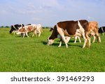 cows on a summer pasture | Shutterstock . vector #391469293