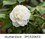 Blossoms Of White Camellia  ...