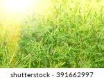 Green Grass Ragweed Growing In...