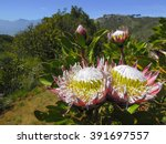 Twin Protea With Landscape