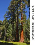 A Grove Of Giant Sequoia In...