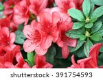 Azalea Red Flowers Close Up
