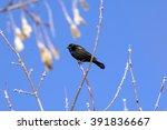 Male Red Winged Blackbird Look...