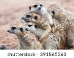 Group Hug Meerkat Standing On ...