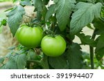 Green Tomatoes On Tomato Tree