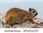 Rock Hyrax Is A Mammal Of The...