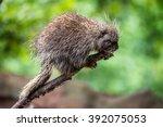north american porcupine ... | Shutterstock . vector #392075053