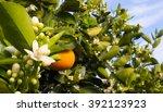 valencian orange and orange... | Shutterstock . vector #392123923
