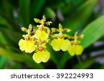 Oncidium Orchid Flowers ...