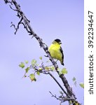 Small photo of An American Goldfinch (Carduelis tristis) perches on a branch at the Sepulveda Basin Wildlife Reserve, Van Nuys, CA, USA.