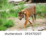 bengal tiger walking and... | Shutterstock . vector #392470207