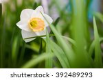 White And Yellow Daffodil In...
