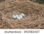 Swans Eggs