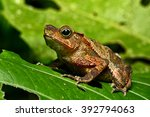 Small photo of neotropical toad in Amazon rain forest; A small tropical amphibian in the Amazonian rainforest. A cute jungle animal, Rhinella margeritifera