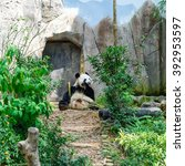Small photo of A giant panda (or panda bear, Ailuropoda Melanoleuca) is eating bamboo sticks in Singapore zoo. An adult panda eats about 20kg of bamboo a day (the weight of 100 bowls of rice). Soft and shallow focus