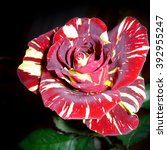 Small photo of Tiger red spotted rose (Class Abracadabra)