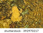 Small photo of one Toad Amietophrynus mauritanicus in wild Morocco