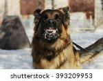 Aggressive  Angry Dog