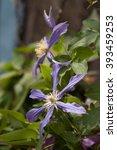 Bright Flower Clematis