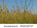 Small photo of There is a cichorium intybus among steppe grasses (agropyron). Macro.
