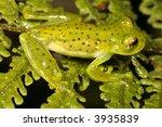 glass frog  centrolene...   Shutterstock . vector #3935839