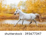 Beautiful horse Arabian breed white suit standing on the background of autumn forest and yellow foliage. The stallion runs trot in field