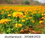 Marigold Flowers. Marigold...