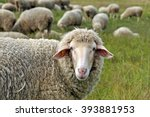 Sheep In Nature On Meadow....