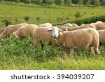 Grazing Sheep In Meadow With...