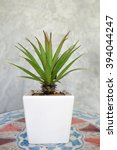 Small photo of Bromeliad or Agave species, on Table Top, by the Cement Wall, Selective Focus, Blur Background