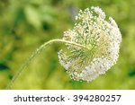 Wild Queen Anne's Lace Flower...