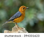 orange headed thrush  geokichla ... | Shutterstock . vector #394331623