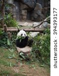Small photo of Cute giant panda (Ailuropoda melanoleuca) in wildlife