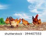Farm Yard Chickens 1