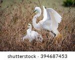 nesting great white egrets  ... | Shutterstock . vector #394687453